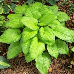 Гуакамоле Размер растения: 60*100  Саженцы и рассада гибридной хосты Гуакамоле (Hosta Guacamole) наиболее неприхотливы к освещению. Они развиваются как на солнце, так и в тени. От месторасположения за