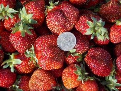 Растения от Виктории.Многолетние.Раздача с 19 мая  — Клубника Приморская,  сортовая — Плодово-ягодные