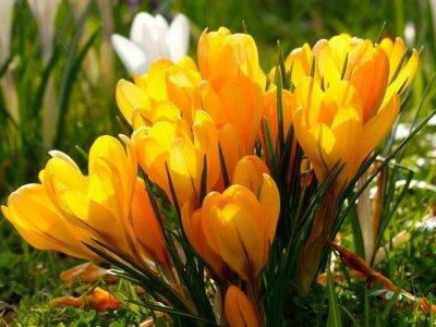 Луковичные(тюльпаны, нарциссы) предзаказ на осень 2020 -2/20 — КРОКУСЫ крупноцветковые — Декоративноцветущие