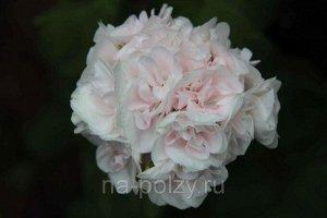 PRINCE NICOLAY розебудная пеларгония (герань)
