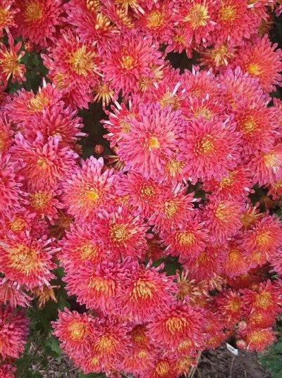 Урожайные сорта Клубники*Рассада крепкая*укорененная* — Хризантемы Корейские зимуют все — Декоративноцветущие