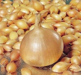✔Осенний предзаказ: Луковичные и Саженцы — Лук-севок, чеснок