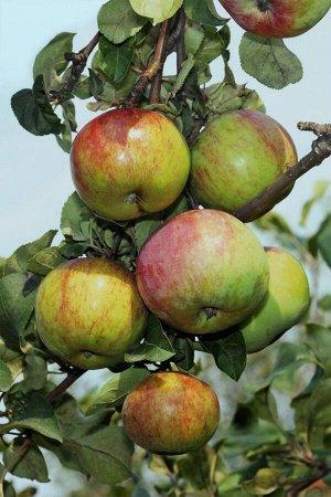 Яблоня Первоуральское зимняя (Код: 79610)