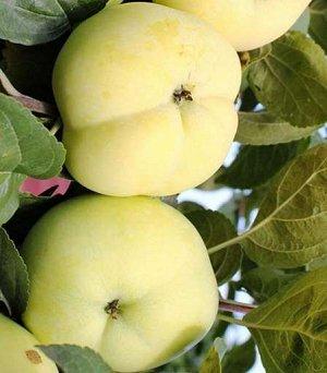 Яблоня Папироянтарное (Код: 85202)