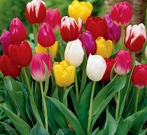 Тюльпаны смесь 10 шт (Код: 85191)