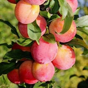 Слива Амурская роза (Код: 85212)