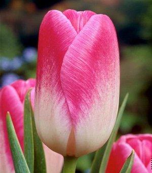 Тюльпан (Триумф) - Розарио