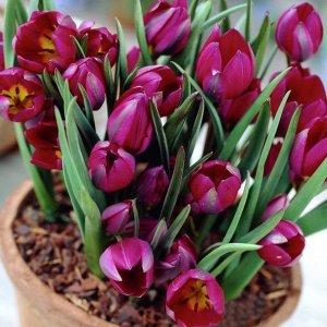 Тюльпан (Ботанический) - Одалиска