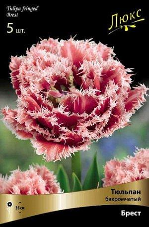 Тюльпан (Бахромчатый) - Брест