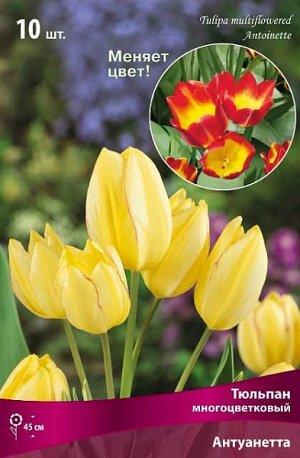 Тюльпан (Многоцветковый) - Антуанетта