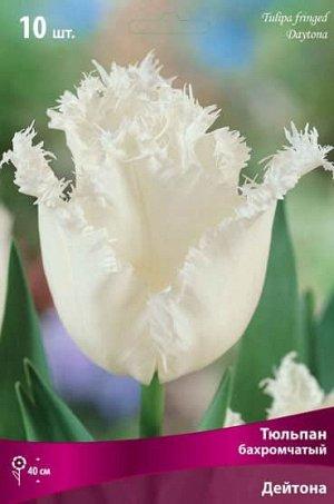 Тюльпан (Бахромчатый) - Дейтона