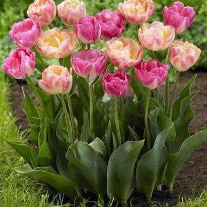 Тюльпан (Махровый поздний) - Крем Апстар