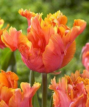 Тюльпан (Попугайный) - Амейзинг Пэррот