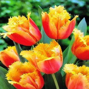 Тюльпан (Бахромчатый) - Палмарес