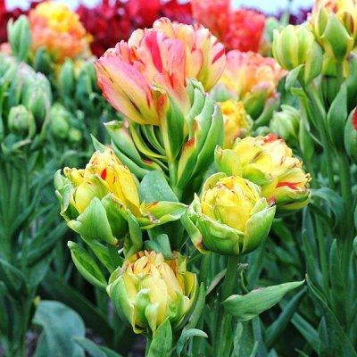 2000 видов семян для посадки!-49 Подкормки, удобрения. — ПРЕДЗАКАЗ Осенние луковичные — Декоративноцветущие