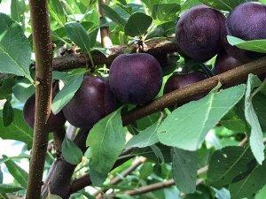 Сливово-вишневый гибрид