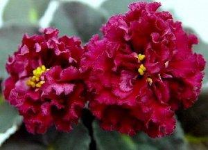 Фиалка Достаточно крупные махровые цветы матового вишнёвого цвета. Ровная розетка, зелёные листья.