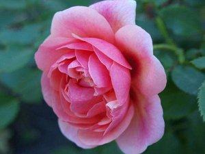 ПЕРСИАН МИСТЕРИ (PERSIAN MYSTERY) гибрид персидской розы