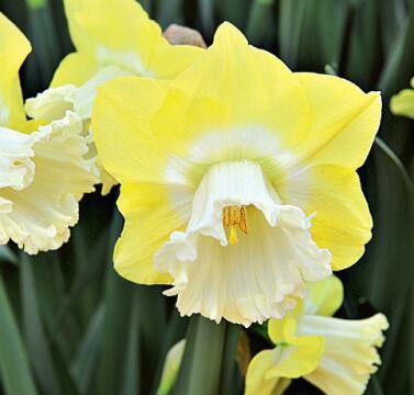 Луковичные(тюльпаны, нарциссы) предзаказ на осень 2020 -2/20 — НАРЦИССЫ крупнокорончатые — Декоративноцветущие