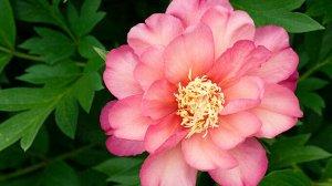 Julia Rose Количество почек: 2-3 глазкa Цвет: вишнево-красный, апельсиново-розовый, желтый Махровость: махровый Период цветения: средний Аромат: сильный