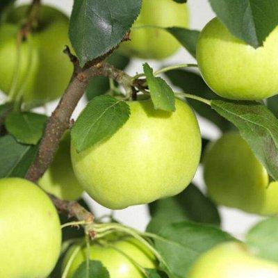 Сибирские Саженцы Плодово-Ягодные 🍏🍒 — Яблони, груши — Плодово-ягодные