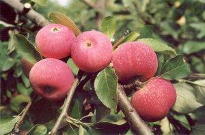 Яблоня полукультурная