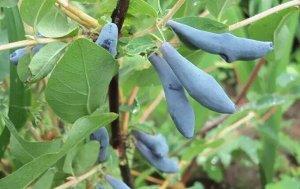 Жимолость Урожайный зимостойкий сорт раннего срока созревания, устойчивый к вредителям и болезням. Куст среднерослый, среднераскидистый, с изогнутыми светло-коричневыми побегами. Ягоды средней массой