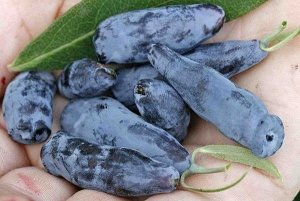 Жимолость Сорт включен в Госреестр России с 2000 г. Самый сладкий сибирский сорт. Куст среднерослый, с округлой кроной и изогнутыми ветвями. Окраска молодых листьев светло-зеленая, салатная. Урожайнос