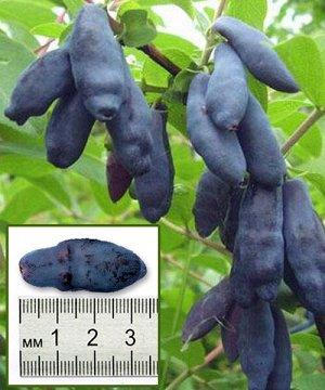 Жимолость Срок созревания: май-июнь. Куст высотой от 1 до 1,5 м, раскидистый в меру. Ягоды все одинакового размера, их средний вес 1,4 грамма. Плоды темно-синие с фиолетовым оттенком. Мякоть сладкая,