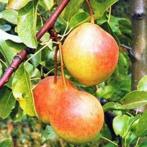 Груша Дерево среднерослое, с редкой кроной. Плоды ниже среднего размера (массой 107 г), широкогрушевидные.Кожица не грубая, гладкая, маслянистая, блестящая. Основная окраска беловатая, покровная – раз