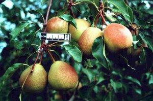 Груша Пользуется большой популярностью у садоводов. Урожайность такова, что дает возможность заполучить до 200 кг с одного дерева. Сохранность средняя, больше 20 дней при комнатной температуре не реко