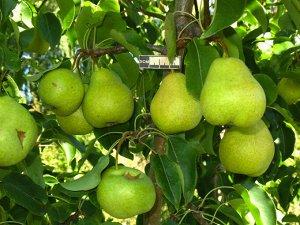 Груша Сорт летнего срока созревания. Дерево среднерослое (высота 3,8 м в 12-летнем возрасте) с округлой густой кроной. Плоды крупные, средней массой 94 г, максимальная 115 г, широко-грушевидные, прави