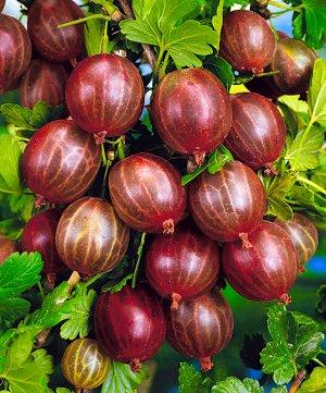 Крыжовник Сорт среднепозднего срока созревания.Ягоды средние или крупные (3,7-6,4 г), одномерные, округло-овальные, ярко-розовые, с матовым налетом, количество семян среднее.Вкус сладкий и кисло-сладк