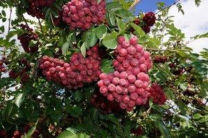 Рябина плодовая