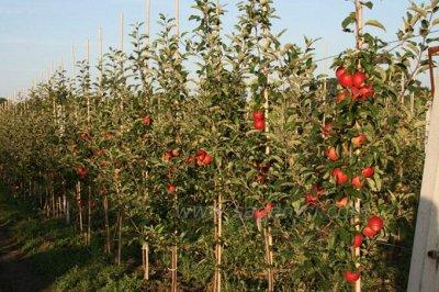 Сибирские Саженцы плодово-ягодных 🍏 🍒 * Осень — Как упакованы — Декоративноцветущие