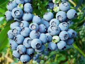 Голубика садовая Блюкроп (Код: 79641)