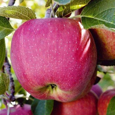 Невероятные многолетники! Розы! Клематисы! Гортензии! Пионы! — Яблоня — Плодово-ягодные