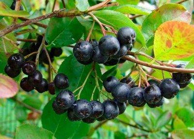Саженцы- вашей мечты🌿 В пути — Арония: — Плодово-ягодные