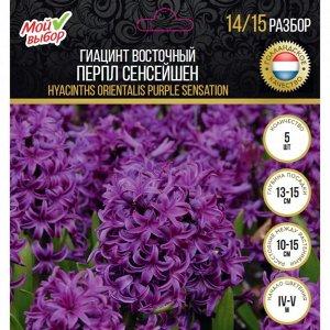 Гиацинт восточный Перпл Сенсейшен, р-р 14/15, 5 шт