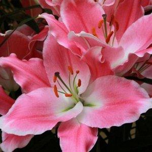 Куинфиш Лилии - многолетние луковичные растения. Высота у разных видов от 30 до 200 см. Есть сорта для выращивания в горшках. Месторасположение: Предпочитают солнечные или слегка затенённые места. Поч