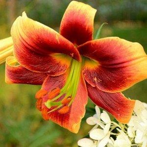 Дебби ОТ-Гибрид  Лилии - многолетние луковичные растения. Высота у разных видов от 30 до 200 см. Есть сорта для выращивания в горшках. Месторасположение: Предпочитают солнечные или слегка затенённые м