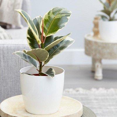 Комнатные растения! Каждые 3 дня новое поступление! — Декоративнолистные — Комнатные растения и уход