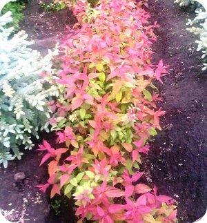 Макрофила Спирея японская Macrophylla считается лучшим сортом среди декоративно-лиственных представителей. В переводе с греческого название культуры обозначает «спираль», и получила она его благодаря