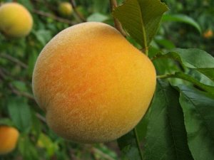 Персик Коваля