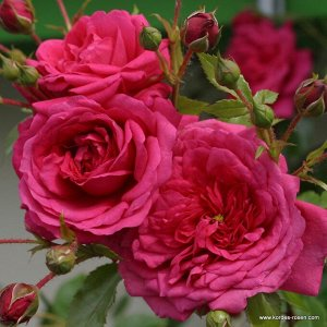 Роза Laguna