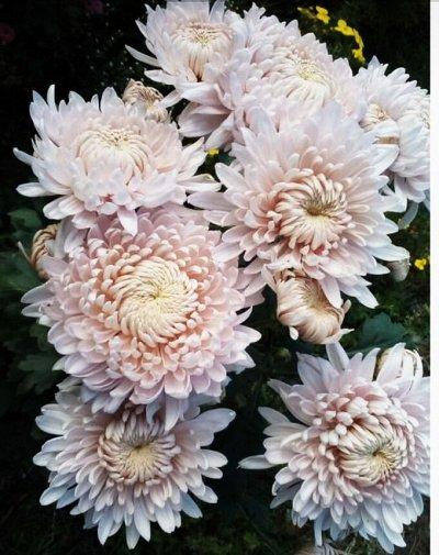 12-Мир хризантем(Предзаказ на весну 2021г). — 2-Корейские хризантемы зимующие в грунте — Декоративноцветущие