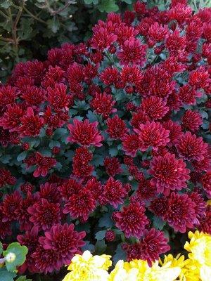 Хризантема мультифлора Meridian Cherry Red