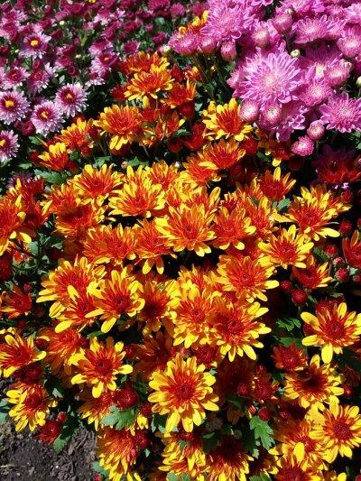 12-Мир хризантем(Предзаказ на весну 2021г). — 3-хризантема мультифлора — Декоративноцветущие