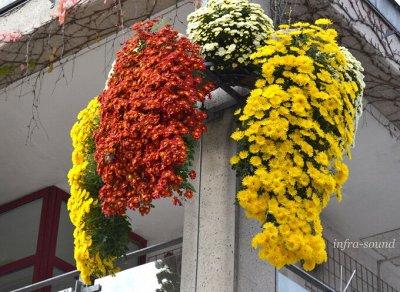 12-Мир хризантем(Предзаказ на весну 2021г). — хризантема мультифлора каскадная — Декоративноцветущие