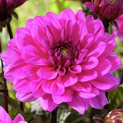 Гладиолусы,георгины,лилии и клематисы.Свободное. Скоро весна — Георгина мелоди — Декоративноцветущие
